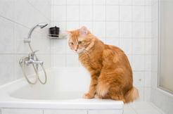 Czy można kąpać kota? Obalamy popularne mity