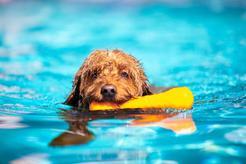 Jak nauczyć psa pływania? Wyjaśniamy krok po kroku