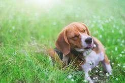 Alergia u psa - przyczyny, objawy, leczenie, dieta, porady praktyczne