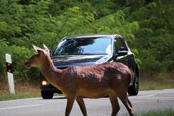 Martwe zwierzę na drodze – zobacz, co zrobić w takiej sytuacji!