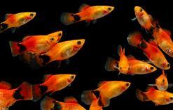 Inne odmiany molinezji - księżycowa, żółta, pomarańczowa - opis, wymagania