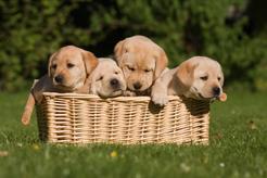 Kupić czy adoptować? Plusy i minusy adopcji oraz zakupu psa rasowego