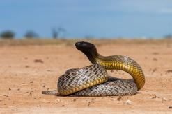 TOP 10 najbardziej jadowitych węży. Poznaj najgroźniejsze gatunki