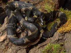 Wąż amurski - charakterystyka, występowanie, hodowla, rozmnażanie