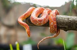 Wąż zbożowy - opis, rodzaje, występowanie, hodowla, porady