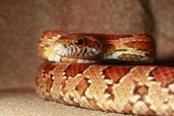 Jaka jest cena węża zbożowego? Sprawdzamy w hodowlach