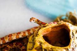 Jak przygotować terrarium dla węża zbożowego? Wyjaśniamy