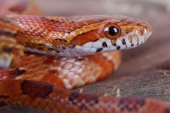 Popularne odmiany węża zbożowego - opis, zdjęcia, ciekawostki