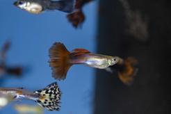 Rybki akwariowe dla początkujących - lista ryb, opis, porady