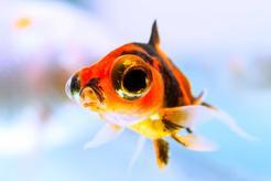 Ryba teleskop - pochodzenie, wymagania, hodowla, rozmnażanie, choroby