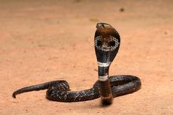 Kobra indyjska - charakterystyka, zdjęcia, występowanie, ciekawostki
