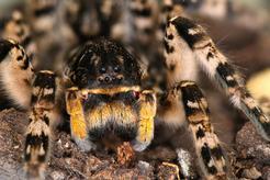 Tarantula ukraińska - opis, występowanie, hodowla, zdjęcia