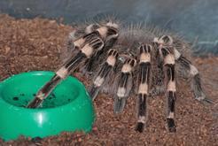 Jak przygotować terrarium dla ptaszników? Wyjaśniamy krok po kroku