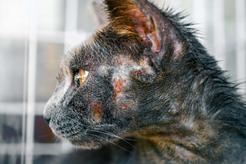 Grzybica u kota - przyczyny, objawy, leczenie, porady praktyczne