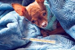 Zapalenie wątroby u psa - przyczyny, objawy, leczenie, rokowania