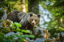 Jak zachować się podczas spotkania z niedźwiedziem na szlaku?