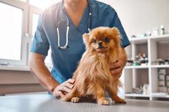 Żółtaczka u psa - objawy, rozpoznanie, przyczyny, leczenie, porady