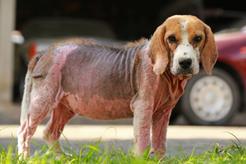 Atopowe zapalenie skóry u psa - objawy, sposoby leczenia, dieta