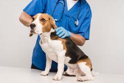 Chłoniak u psa - objawy, diagnostyka, leczenie, rokowania