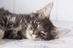 Zatwardzenie u kota – objawy, rozpoznanie, przyczyny, leczenie
