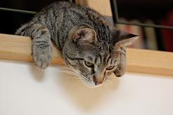 Kot dachowiec czy rasowy - jakiego warto wybrać?