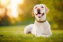 Ile żyją labradory? Sprawdź, jak długo żyje popularny pies rodzinny