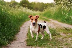 Najlepsze hodowle jack russell terriera - gdzie kupić szczeniaka?