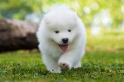 """Cena samojeda - ile kosztuje szczeniak """"uśmiechniętego psa północy""""?"""