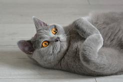 Ile żyje kot brytyjski? Sprawdź, jak długo żyją brytyjczyki