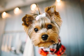 Yorkshire terrier - opis, charakter, wychowanie, pielęgnacja