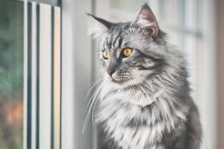 Jaka jest cena maine coon? Ile trzeba zapłacić za rasowego kota?