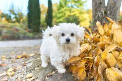 Opinie o maltańczykach – sprawdzamy co warto wiedzieć przed zakupem psa