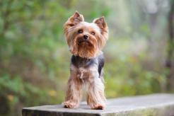 Yorkshire terrier miniaturka - opis, cechy, pielęgnacja, cena