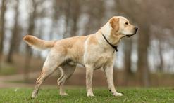 Labrador retriever - opis, usposobienie, wychowanie, opinie