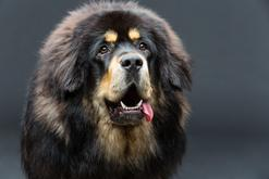 Najdroższe rasy psów - sprawdzamy, które psy kosztują najwięcej