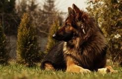 Wilczur a owczarek niemiecki - czy to ta sama rasa psa?
