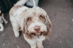 4 popularne rasy psów włoskich - opis, charakter, opinie, tresura