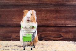 Akcesoria dla świnki morskiej – zobacz, co koniecznie trzeba kupić