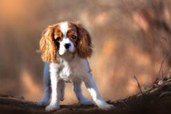 Cavalier spaniel – charakterystyka, choroby, żywienie, opinie