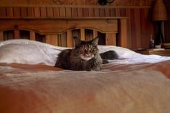 Średnia długość życia maine coon – ile żyją koty tej rasy?