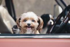 9 najmniejszych ras psów - opinie, charakter, wymagania