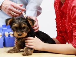 Szczepienia szczeniaka krok po kroku - harmonogram szczepień
