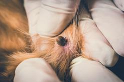 Tabletki na kleszcze dla psa - rodzaje, ceny, opinie, porady