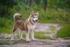 Alaskan malamute - charakterystyka, zachowanie, tresura, choroby