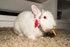 Jaka jest cena królika miniaturki? Zobacz, ile kosztują króliczki różnych ras
