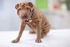 Pomarszczony pies – jaka to rasa? Oto bardzo charakterystyczna rasa