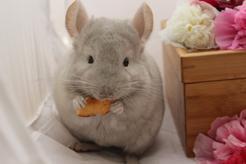 Co jedzą szynszyle? Czym karmić szynszyla, a czego unikać?