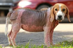 Nużeniec u psa - rozpoznanie, objawy, leczenie, zapobieganie