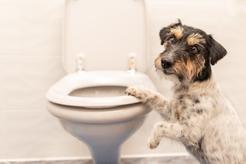 Biegunka u psa - przyczyny rozwolnienia, leczenie, porady