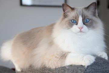 Kot ragdoll - oto 10 powodów, dla których jest uwielbiany!